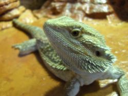 Bearded Dragon orange phaze