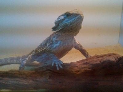 this is my beardie , his name is rocko and he's 9 months old and now he's a little fatty