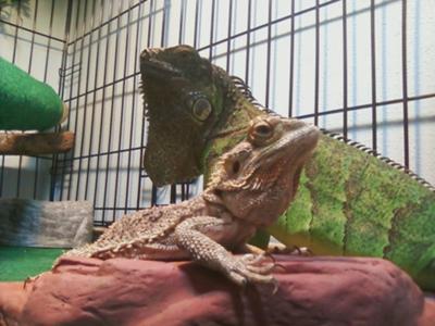 My Beardie & Iguana