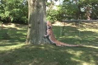 Giant pet dragon