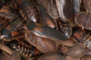 Roaches ultra close-up